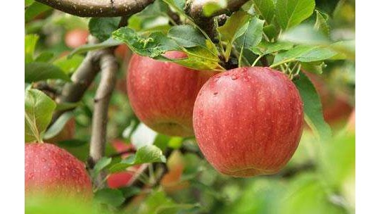 每天吃苹果毛病绕道走