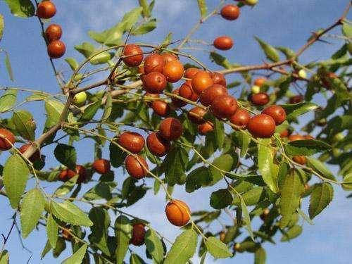 王雷生|家乡的红枣树